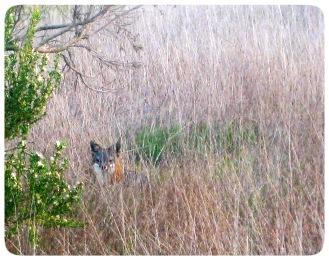 Hiding Island Fox