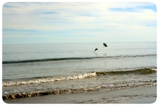 Pelicans at Smuggler's Cove