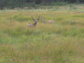 Yosemite Deer Grazing