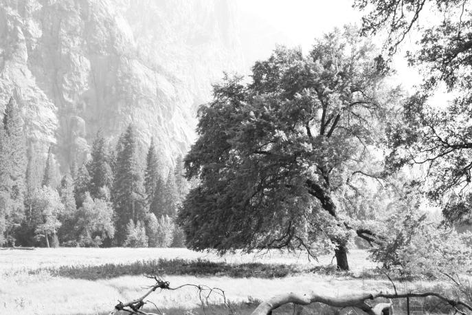 Yosemite Oak Tree