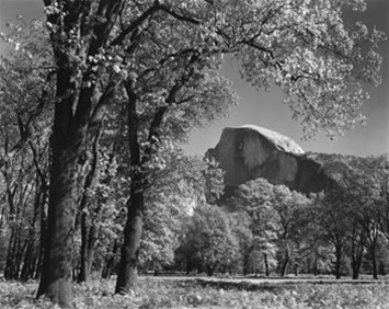 Ansel Adams Half Dome Oak Tree